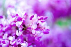 Macro of eastern redbud tree`s. Blooming Judas tree. Cercis siliquastrum, canadensis. Pink flowers banch. Summer and. Spring concept, copy space Royalty Free Stock Photo