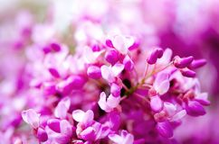 Macro of eastern redbud tree`s. Blooming Judas tree. Cercis siliquastrum, canadensis. Pink flowers banch. Summer and. Spring concept, copy space Stock Images