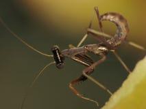 Macro eccellente del Mantis del bambino Fotografie Stock Libere da Diritti