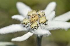 Macro of edelweiss flower Stock Images