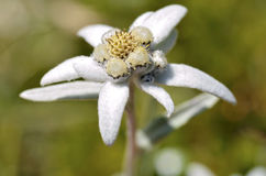 Macro of edelweiss flower Royalty Free Stock Image
