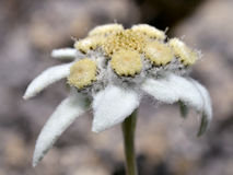 Macro of edelweiss flower Stock Photo