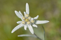 Macro of edelweiss flower Royalty Free Stock Photo