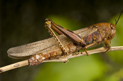 Macro of an Egyptian Grasshopper Royalty Free Stock Photos