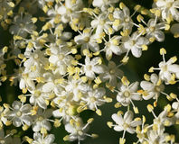 Macro of elderflowers royalty free stock images