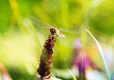 Macro em um fundo verde no parque, fundo bonito da libélula do verão foto de stock royalty free