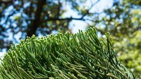 Macro em um pinho de Norfolk Fotografia de Stock Royalty Free