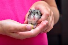 Macro enana gris de Gray Hamster del hámster, soportes fotografía de archivo libre de regalías
