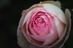 Macro English Climbing Pink Rose Constance Spry royalty free stock photos