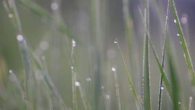Macro erba con rugiada che ondeggia nel vento, uccelli che cantano, usignolo, canto degli uccelli della molla stock footage