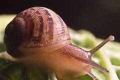 Macro escargot Photos libres de droits
