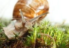 Macro of escargot in moss Stock Image