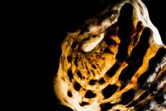 Macro espiral do close-up da concha do mar, destacado para dentro e isolado no fundo preto Textura da concha do mar do molusco imagens de stock royalty free