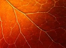 Macro estrema del foglio di autunno Fotografia Stock