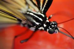 Macro estrema della farfalla Fotografie Stock