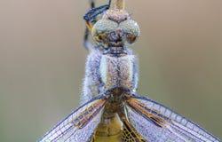 Macro et rosée de libellule Photographie stock libre de droits