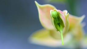 Macro of Euphorbia bracteata or Little Bird Flower royalty free stock photos