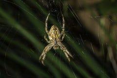 Macro euroasiatica del ragno di giardino immagine stock libera da diritti