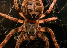 Macro europea del ragno di giardino Fotografie Stock Libere da Diritti