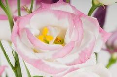 Macro eustoma flower Royalty Free Stock Image