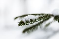 Macro evergreen brunch of fir tree with snowflakes on it in forest. Macro green fir tree brunch with snowflakes on it in snowy forest stock image