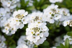 Macro of an evergreen candytuft Stock Images