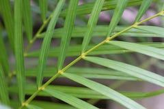 Macro exótica de la rama de palmera verde Imágenes de archivo libres de regalías