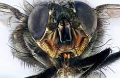 Macro extrema de la mosca doméstica fotografía de archivo libre de regalías