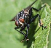 Macro extrema de una mosca de la casa foto de archivo