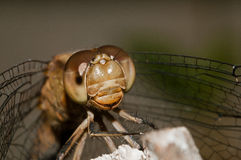 Macro extreme dragonfly. Eyes. Head. Stock Images