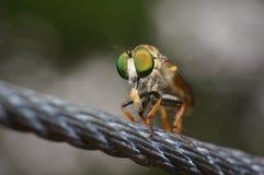 Macro Eyes of Flys Stock Image