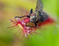 Macro face of fly catched by Sundew (drosera) Royalty Free Stock Photo