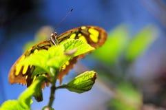 Macro face Malachite butterfly (Siproeta stelenes) Royalty Free Stock Image