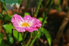 Macro of fairy rose. With water drop royalty free stock image