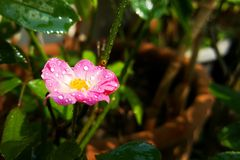 Macro of fairy rose. With water drop stock images