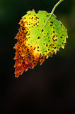 Macro of fall birch lef Royalty Free Stock Images