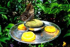 Macro farfalla gigante Immagini Stock
