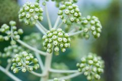 Macro of Fatsia berrys Stock Images