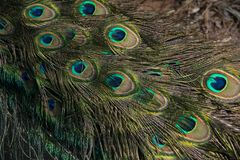 Macro of feathers of the common peacock or Pavo cristatus. Species of galliform bird of the Phasianidae family with contrast royalty free stock photos