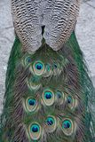 Macro of feathers of the common peacock or Pavo cristatus, species of galliform bird of the Phasianidae family. With contrast royalty free stock images