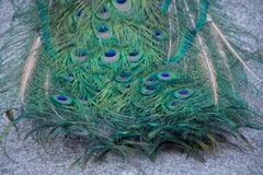 Macro of feathers of the common peacock or Pavo cristatus. Species of galliform bird of the Phasianidae family with contrast stock photo