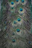 Macro of feathers of the common peacock or Pavo cristatus. Species of galliform bird of the Phasianidae family with contrast royalty free stock photography