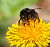 Macro of feeding bumble bee Royalty Free Stock Image