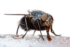 Macro of feeding fly Royalty Free Stock Photography