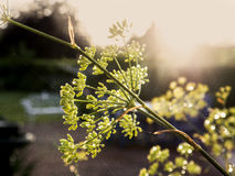 Macro of a fennel plant Stock Image