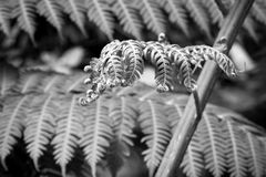 Macro of fern leaves in black and white. Macro of natural pattern fiddlehead fern leaves in flower garden - black and white style pictures royalty free stock photos