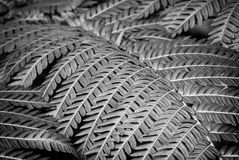 Macro of fern leaves in black and white. Macro of natural pattern fern leaves in flower garden - black and white style pictures royalty free stock photography