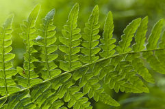 Macro of a fern leaves in the morning light Royalty Free Stock Images