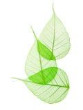Macro feuilles de vert d'isolement Images libres de droits