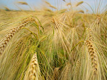 Macro field. Wheat field royalty free stock photos